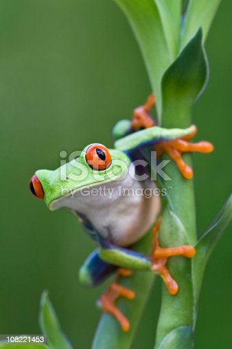 Red-eyed Tree Frog Ready to Leap Off Plant  [url=http://www.istockphoto.com/file_search.php?action=file&lightboxID=6833833] [img]http://www.kostich.com/frogs.jpg[/img][/url]  [url=http://www.istockphoto.com/file_search.php?action=file&lightboxID=10814481] [img]http://www.kostich.com/rainforest_banner.jpg[/img][/url]