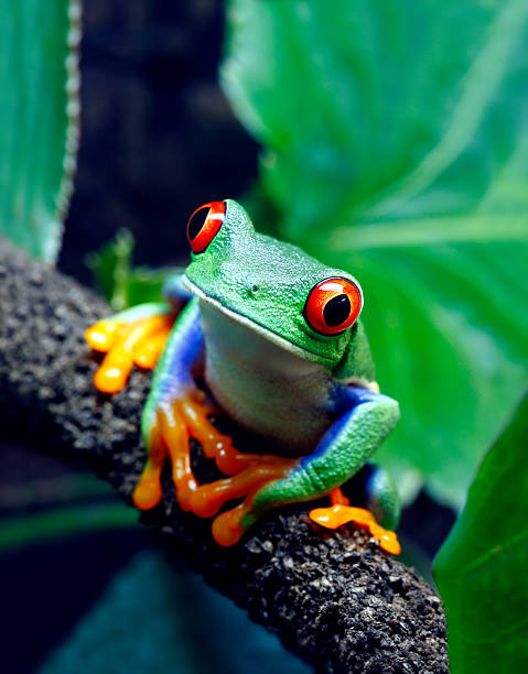 Red-eyed tree frog sitting on a branch stock photo