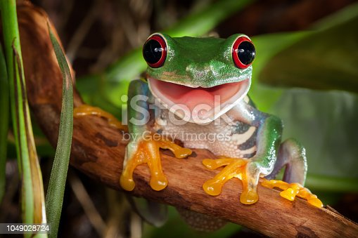 istock Red-eyed tree frog smile 1049028724