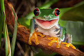 Red-eyed tree frog sitting on the branch and smiling