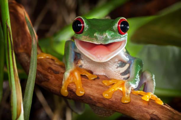 Redeyed tree frog smile picture id1049028724?b=1&k=6&m=1049028724&s=612x612&w=0&h=mxowzikrtuvl bfnjltszt f43h6h6x xsnss5zgaua=