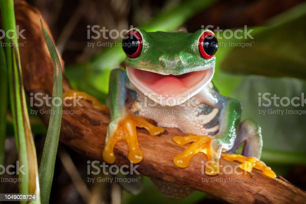 Photo of Red-eyed tree frog smile