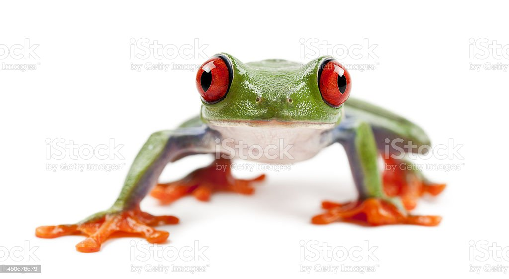 Red-eyed Treefrog, Agalychnis callidryas stock photo