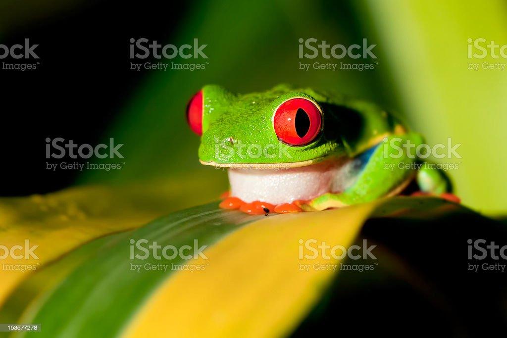Red-eyed Treefrog stock photo