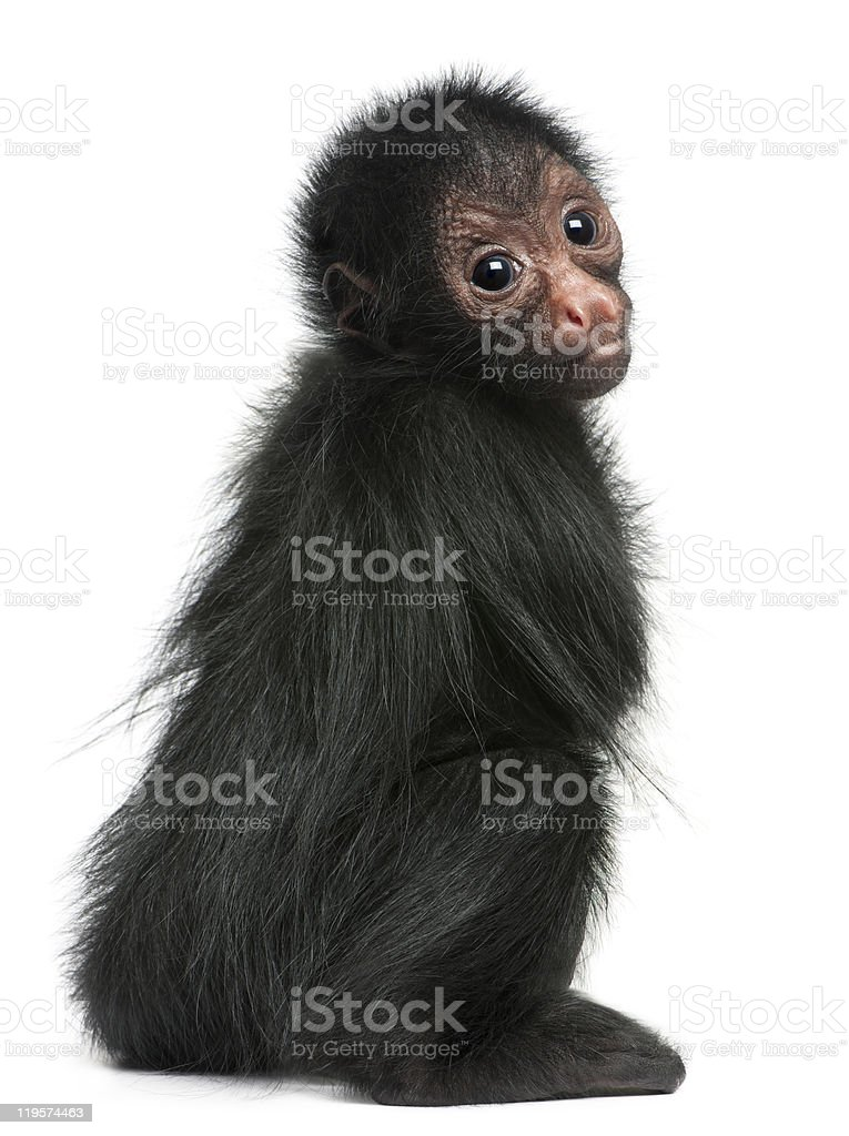 Red-faced Spider Monkey, Ateles paniscus, 3 months old, sitting. stock photo