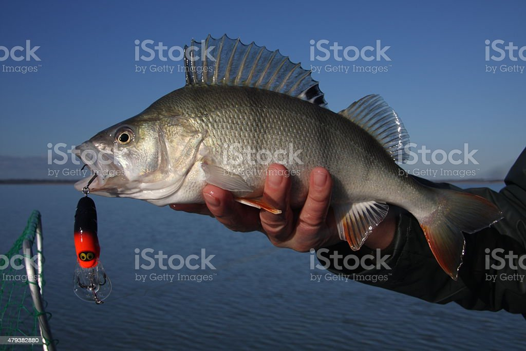 Redfin (English perch) caught on a lure stock photo