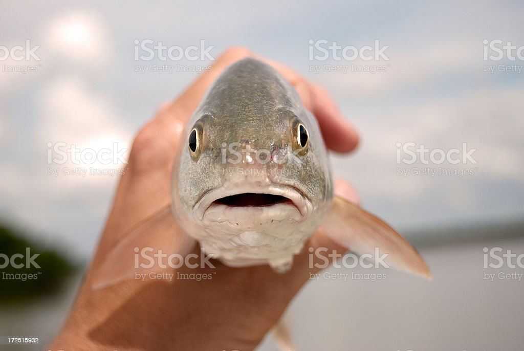 Redfish royalty-free stock photo