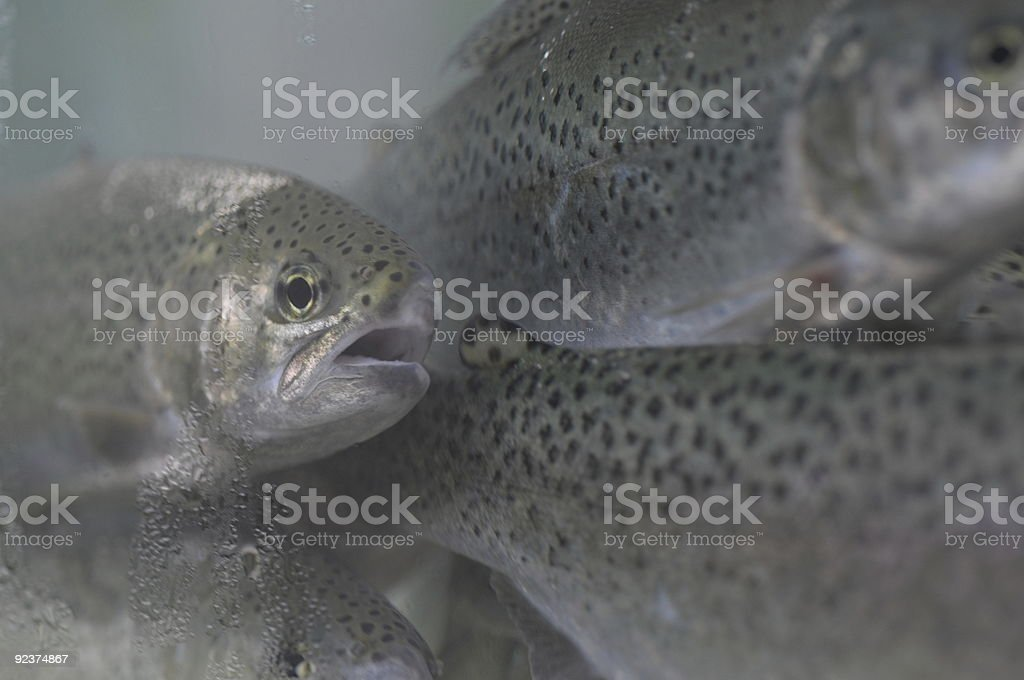 redfish royalty-free stock photo