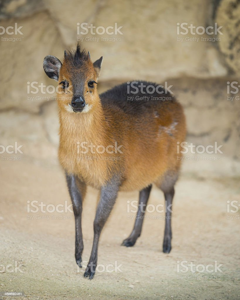 Red-Flanked Duiker stock photo