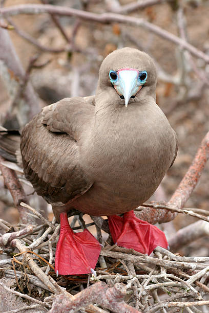 Red-footed Booby, Galapagos stock photo
