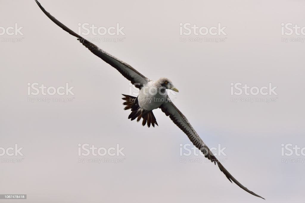 Red-footed Booby Hunting stock photo