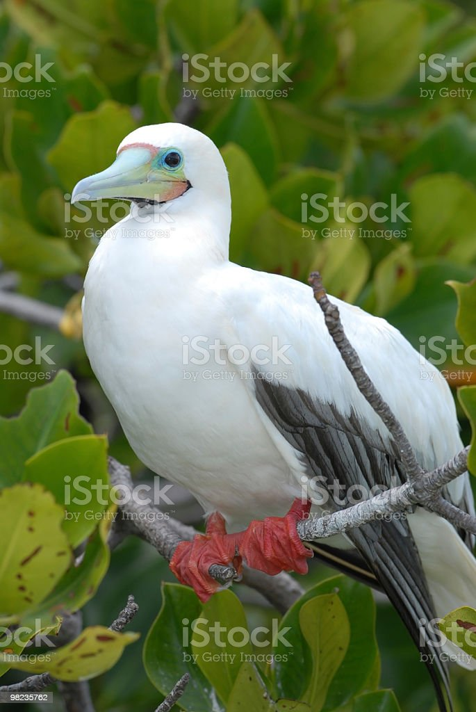 red-footed booby royalty-free stock photo