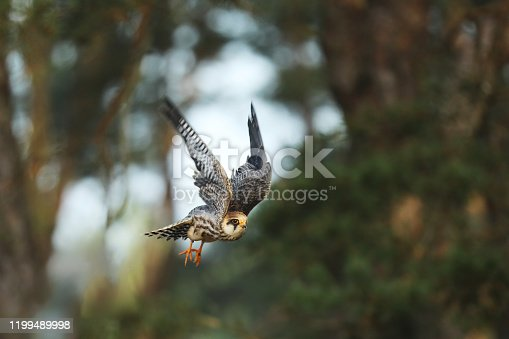 Red-footed falcon - Falco vespertinus - flying in autumn forest