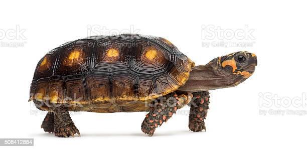 Redfooted tortoises chelonoidis carbonaria picture id508412884?b=1&k=6&m=508412884&s=612x612&h=ew2zeta3reb 4nwipdhgo sq1 1ww6 mk9xg4owgw7u=
