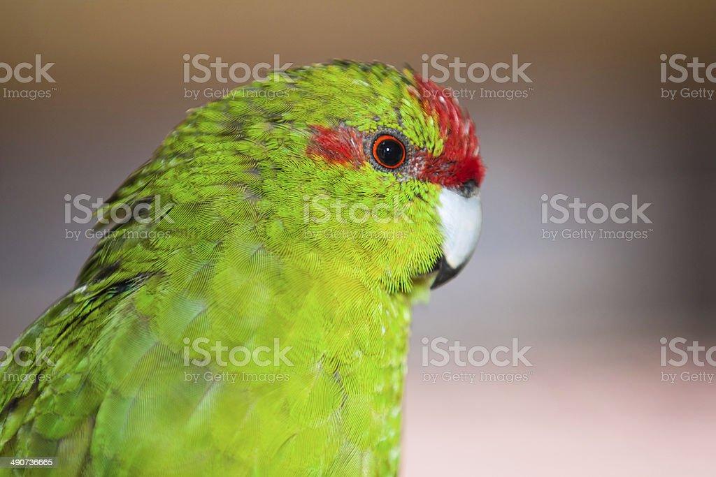 Red-fronted parakeet Cyanoramphus novaezelandiae royalty-free stock photo