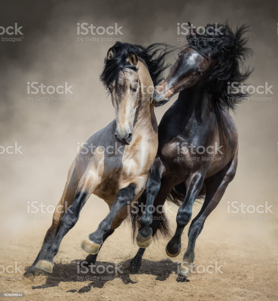 Red-gray Spanish stallion play with dun Spanish stallion stock photo