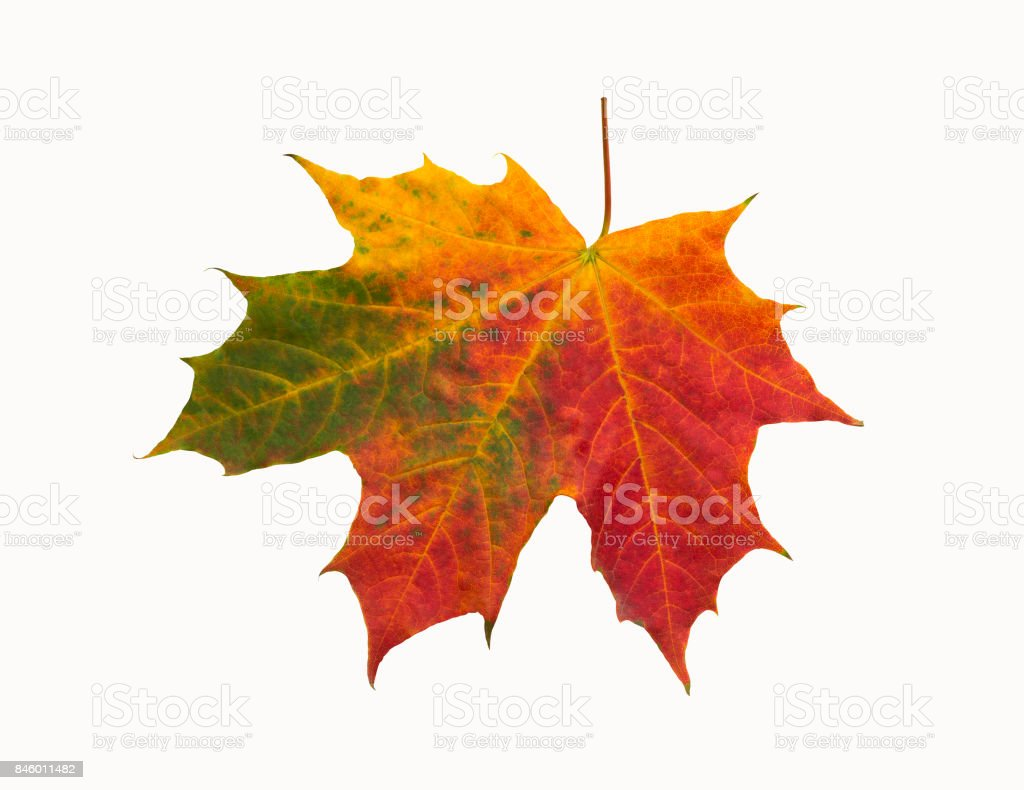 Red-green maple leaf on isolated background stock photo
