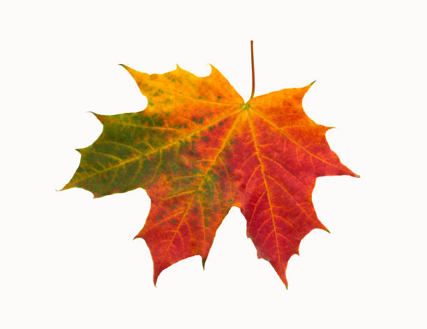 red-green maple leaf on isolated background - maple leaf stock pictures, royalty-free photos & images