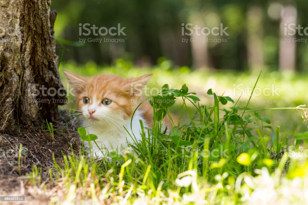 Red-haired little kitten sitting in the grass near the tree stock photo