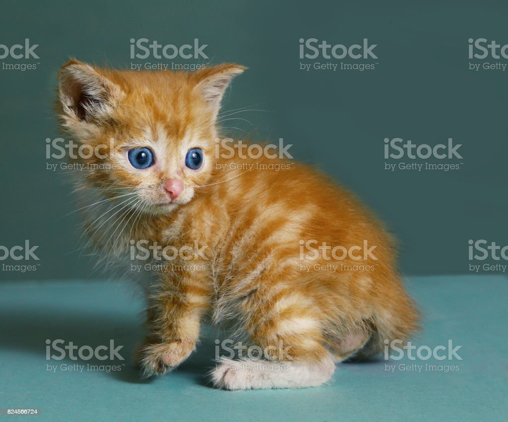 red-haired little kitten with blue eyes stock photo