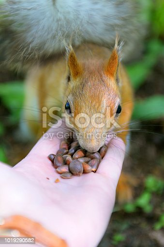 istock Red-haired squirrel eats pine nuts with hands. Walk in the woods with squirrels. 1019290582