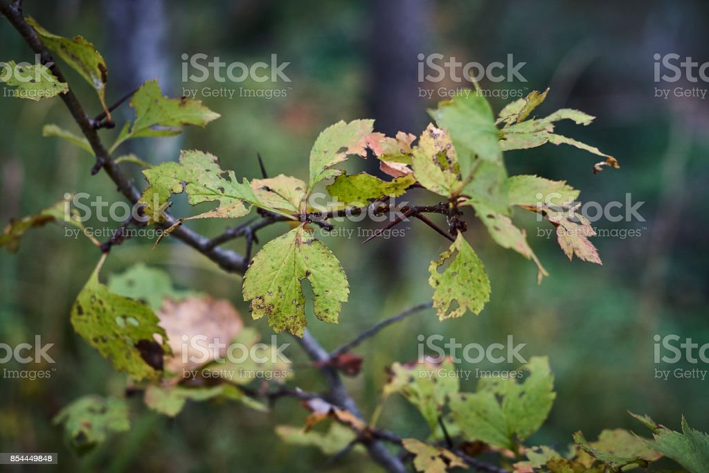 redhaw hawthorn  Crataegus sanguinea thorn and leaf close up stock photo