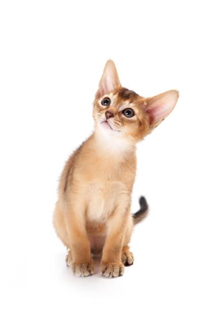 Redhead kitten abyssinian playing picture id857924318?b=1&k=6&m=857924318&s=612x612&w=0&h=qwauoh3y1rul23 wccsxpbw6o1fsjkobxmxkh6nvevw=