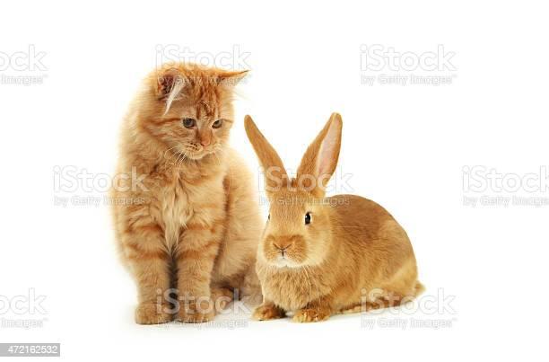 Redhead long hair kitten and rabbit isolated on white picture id472162532?b=1&k=6&m=472162532&s=612x612&h=q3ilbo7odjl9bk qyzdbmdr2xc 6plglru3oktw3xx8=