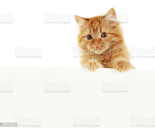 Redhead long hair kitten on white banner picture id469130326?b=1&k=6&m=469130326&s=612x612&h=f9ysrxezwjrqrcm6ty4c6 v15cc6qu0bsmf22s9p5pm=