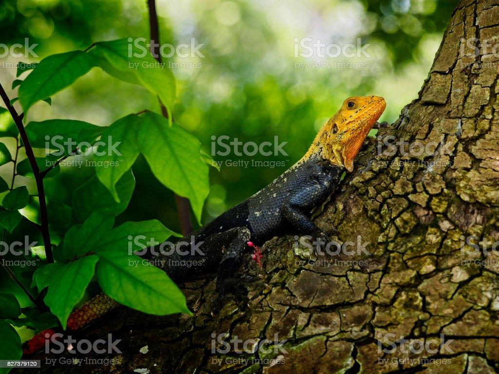 Agama-de-cabeça-vermelha (agama Agama) num tronco de árvore de Carambola (Averrhoa carambola) - foto de acervo