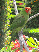 A red-headed conure or red-masked parakeet (Psittacara erythrogenys)