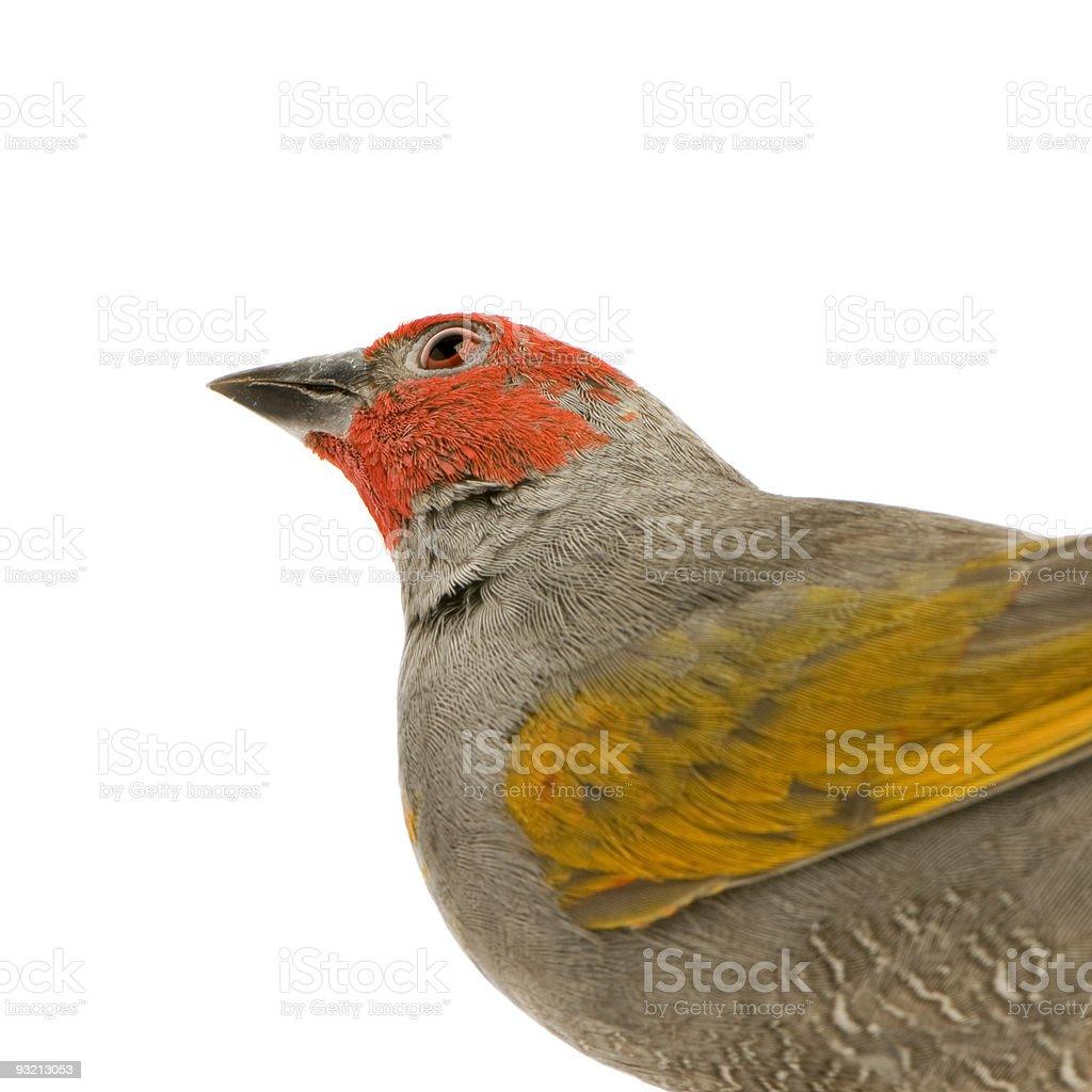 W Finch Leatherhead Royalty Free Red Heade...
