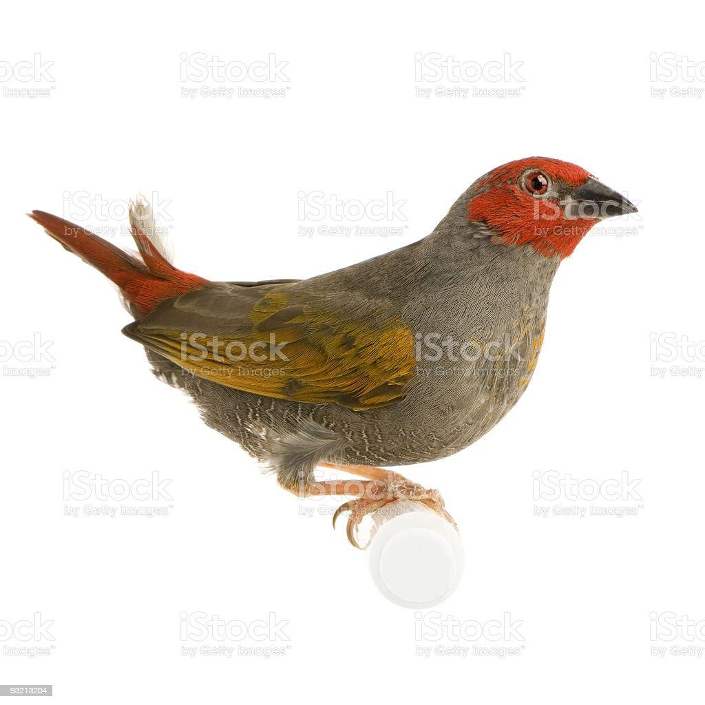 Red-headed Finch - Amadina erythrocephala stock photo