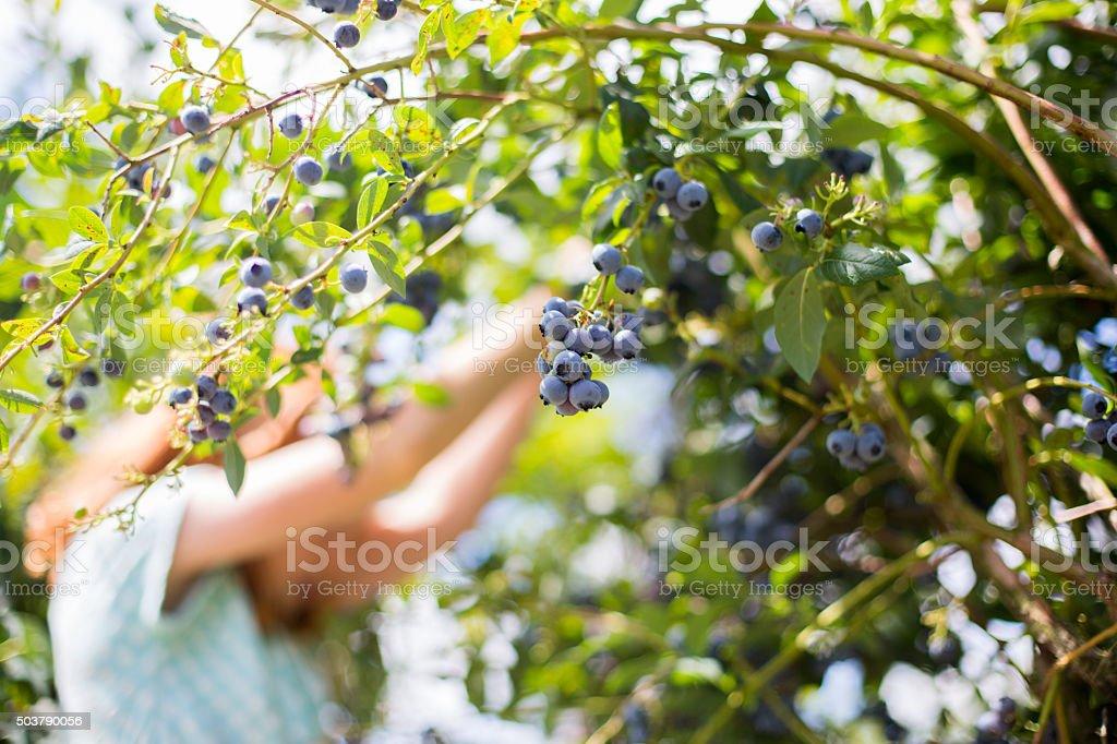 Redheaded girl picks blueberries stock photo