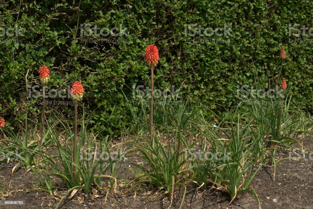 Gloeiende poker bloem, Kniphofia - Royalty-free Bloem - Plant Stockfoto