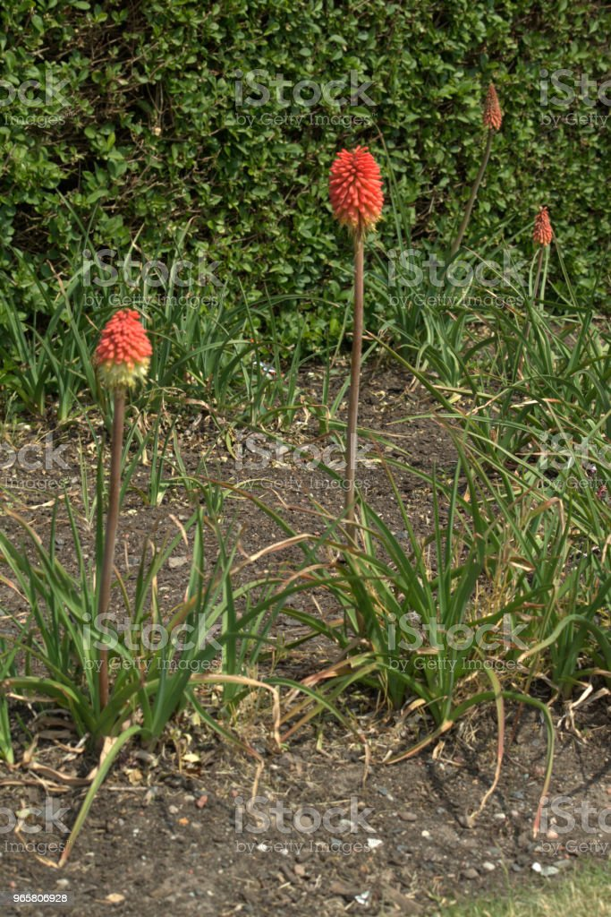 Red-hot poker flower, Kniphofia - Royalty-free Beauty In Nature Stock Photo