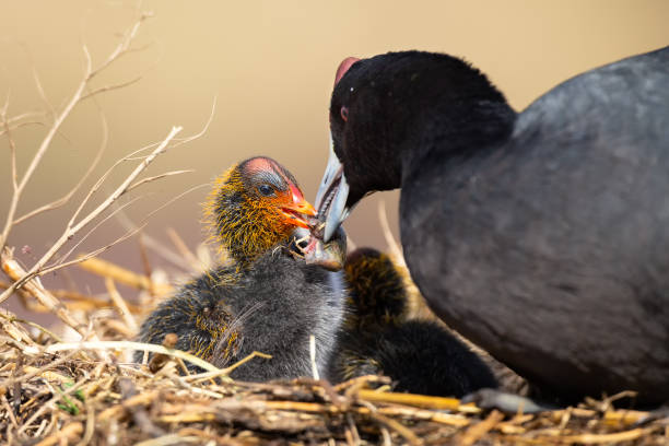 Red-knobbed coot chick is fed small fish by its mother to gain strength Red-knobbed coot chick is fed small fish by its mother to gain strength coot stock pictures, royalty-free photos & images
