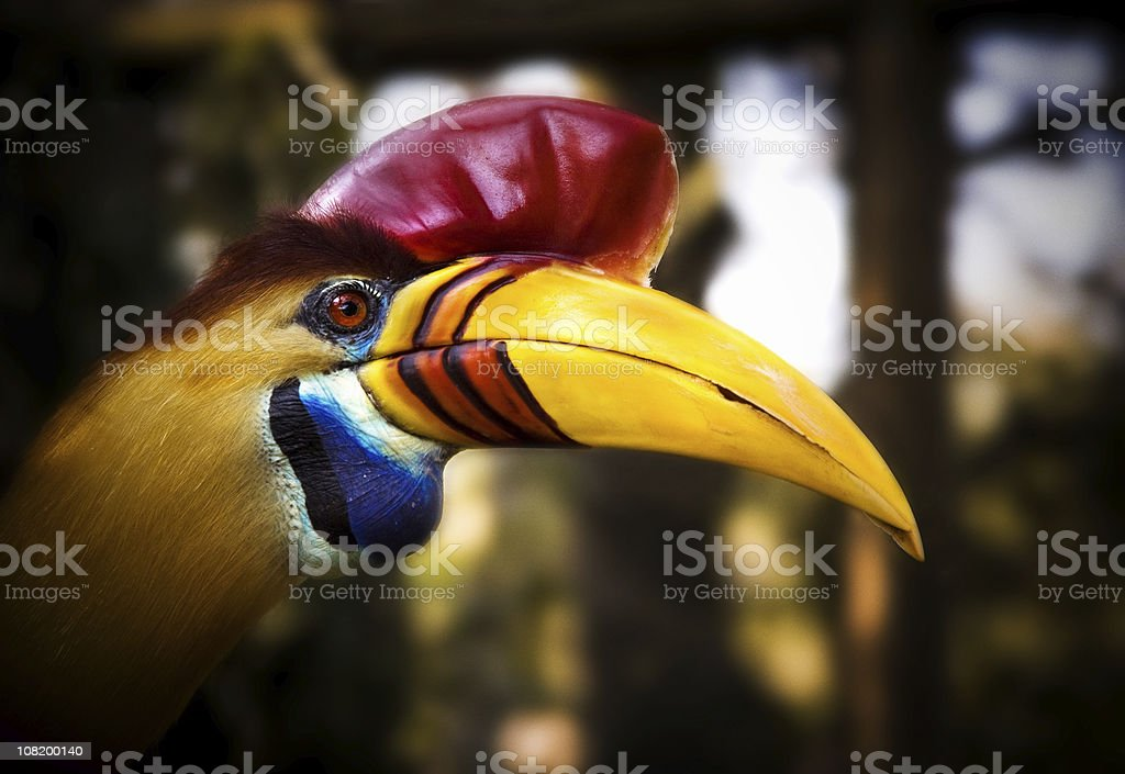 Red-knobbed Hornbill royalty-free stock photo