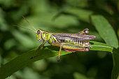 istock Red-legged jumper, (melanoplus femurrubrum), red-legged grasshopper. 1279567349