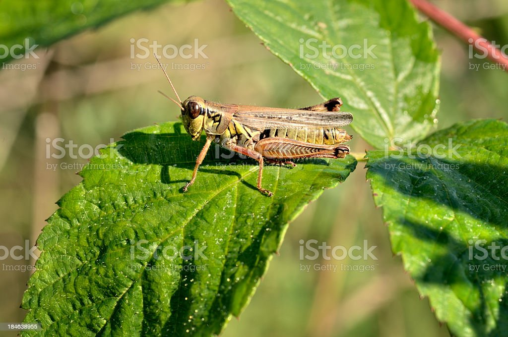 Red-legged Locust, Melanoplus femur-rubrum royalty-free stock photo