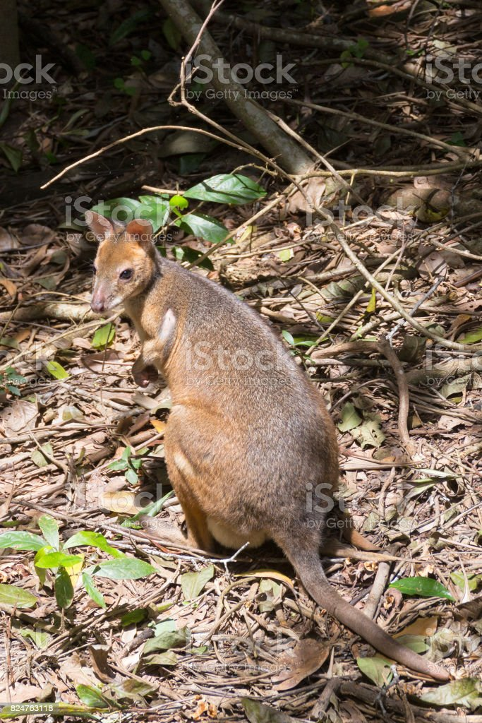 Red-legged Pademelon on forest floor stock photo