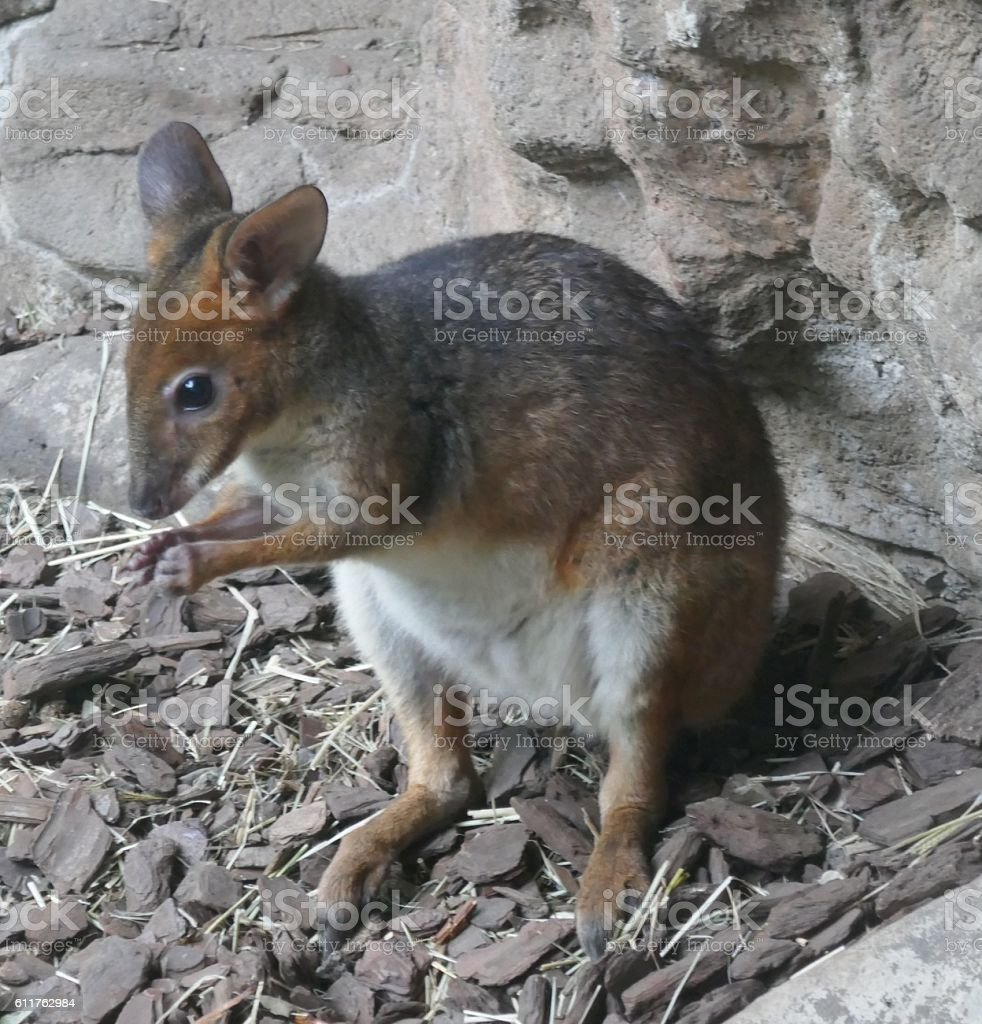 red-legged pademelon stock photo