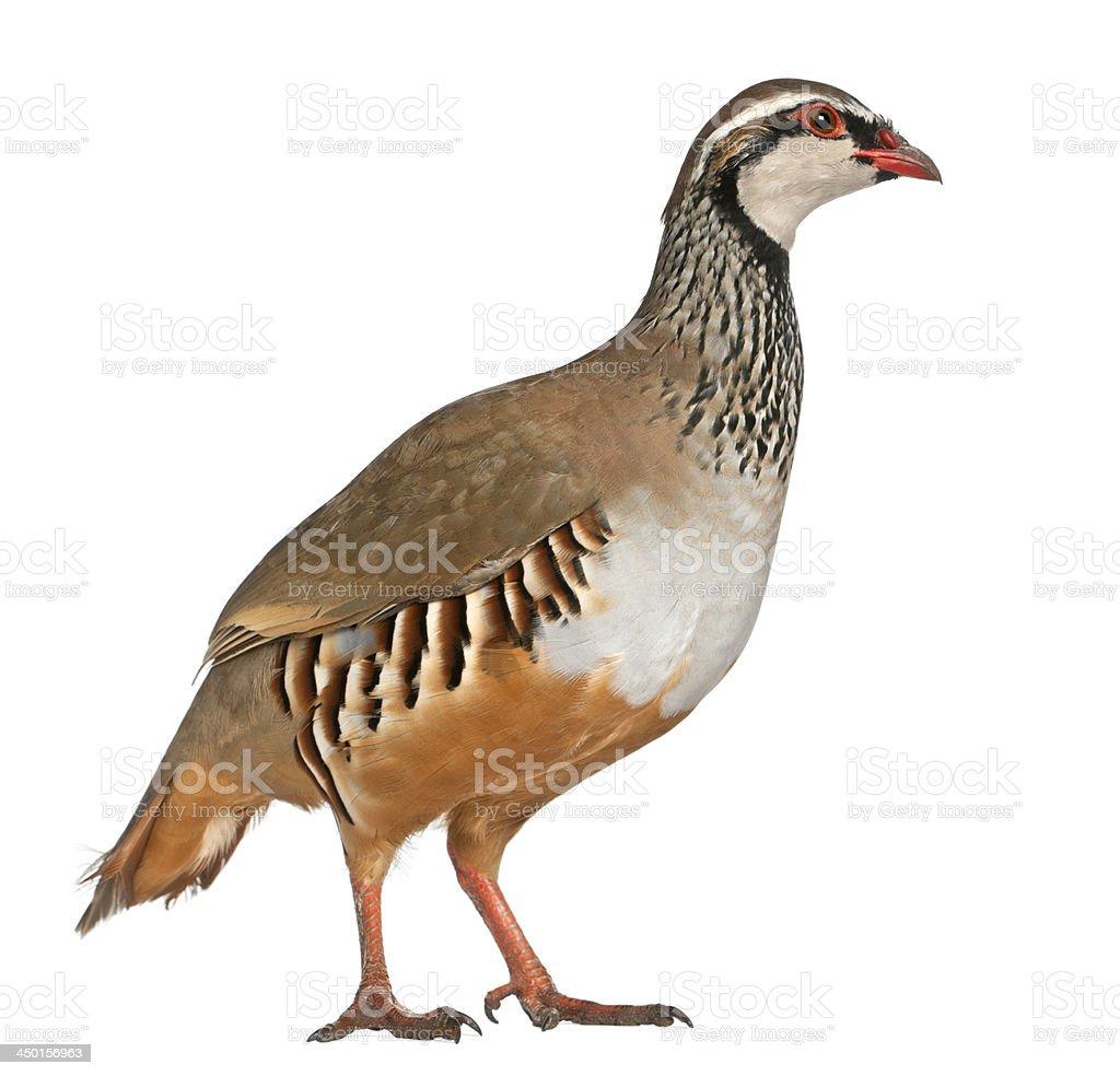 Red-legged Partridge, Alectoris rufa stock photo