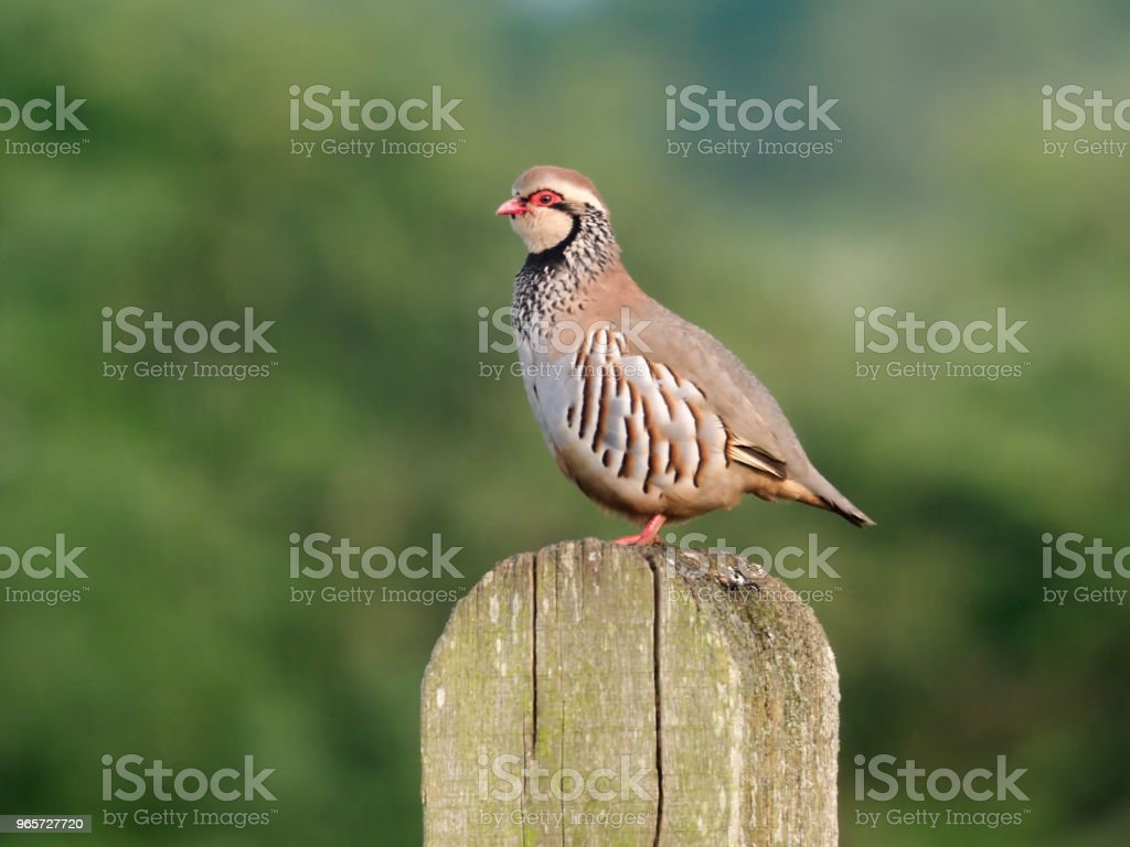 Red-legged partridge, Alectoris rufa - Royalty-free Animal Wildlife Stock Photo