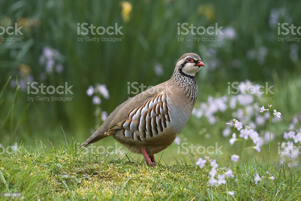 A red-legged partridge in a grassy area royalty-free stock photo