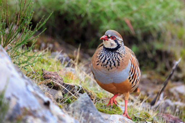 Rot-beiniger Partridge Madeira – Foto