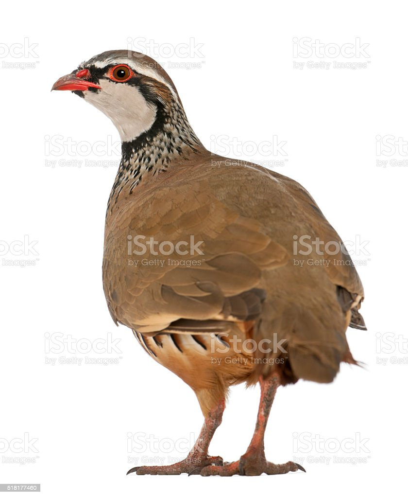 Red-legged Partridge or French Partridge, Alectoris rufa standing stock photo