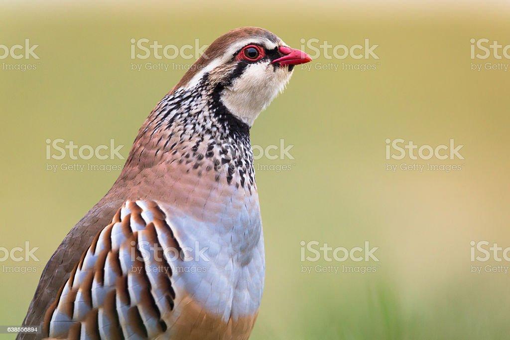 Red-legged partridge (Alectoris rufa) stock photo
