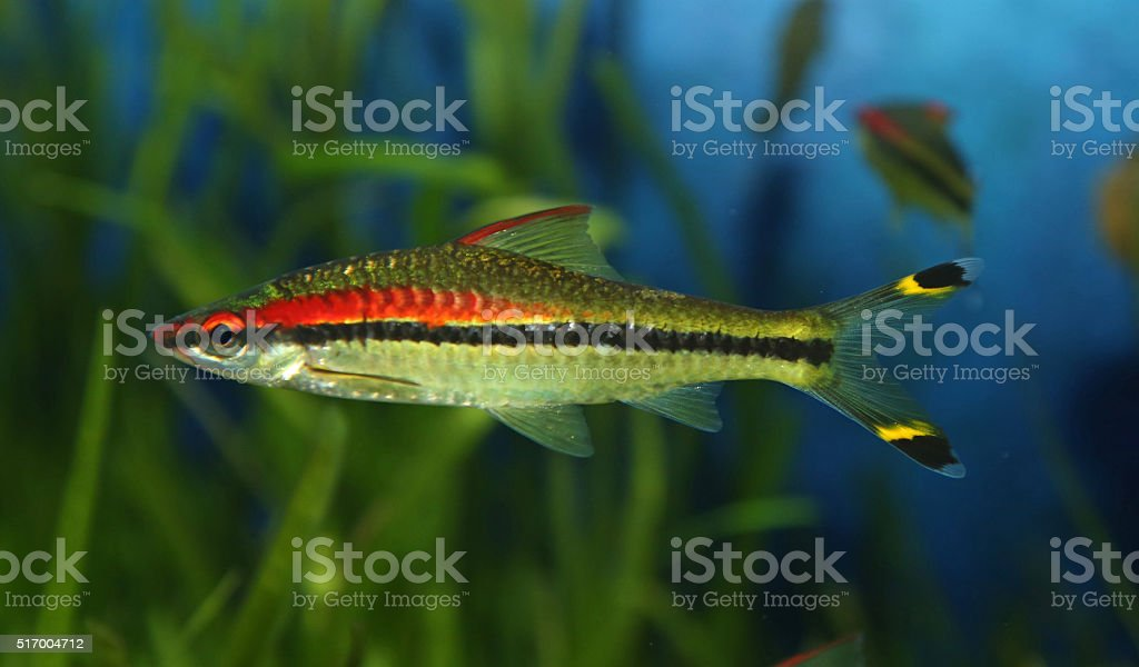 Red-lined Torpedo Barb stock photo