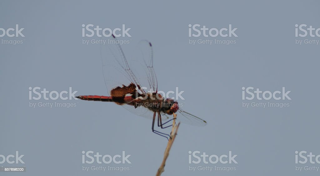 Red-Mantled saddlebag Dragonfly in Joshua Tree stock photo
